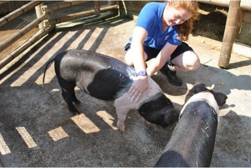 Even pigs gets smothered in suncream (Newquay Zoo)